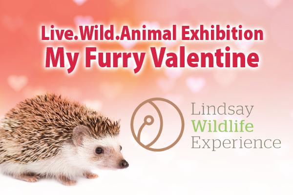 Pet A Hedgehog Or Ferret At Live.Wild.Animal.Exhibition: My Furry Valentine!  At Lindsay Wildlife Experience In Walnut Creek On Saturday, Feb. 17, 2018.